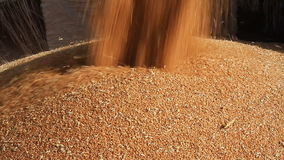 Wheat Field.Unloading Grain To The Truck stock video footage