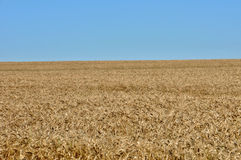 Wheat field in Val d Oise Stock Photography