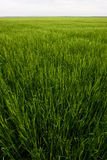 Wheat field. In Valladolid, Spain Stock Photography