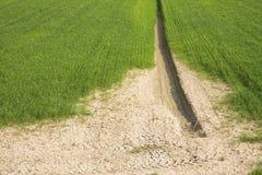 Wheat field with vast unproductive areas Stock Photos