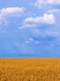 Wheat field vertical. Wheat field before harvest in the summer Stock Photography