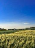 Wheat field vertical. Golden Wheat field under a blue sky-vertical Stock Photo