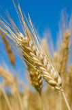 Wheat field, very shallow focus Stock Image