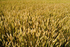 Wheat field view from above Royalty Free Stock Images