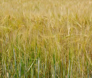Wheat in the field Stock Photos