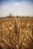 Wheat field. A view of wheat field ready for harvesting Royalty Free Stock Image