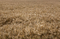 Wheat field. A view of wheat field ready for harvesting Stock Images