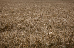 Wheat field. A view of wheat field ready for harvesting Stock Image