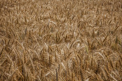 Wheat field. A view of wheat field ready for harvesting Royalty Free Stock Photos