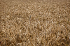 Wheat field. A view of wheat field ready for harvesting Stock Photography