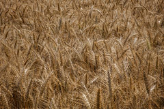Wheat field. A view of wheat field ready for harvesting Stock Photos