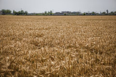 Wheat field. A view of wheat field ready for harvesting Stock Photo