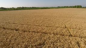 Wheat field viewed from air - front view, moving forward, low altitude, more speed HD stock footage