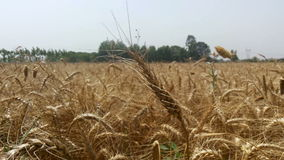 Wheat field in village, nature background stock footage
