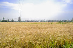 Wheat field before village in sunny summer afternoon Royalty Free Stock Image