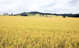 Wheat Field and Vineyard Royalty Free Stock Photo