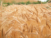 Wheat. In a field waiting to be unveiled Royalty Free Stock Image