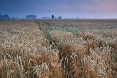 Wheat field during warm summer misty sunrise Stock Photography