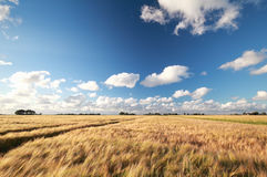 Wheat field in warm sunny day Royalty Free Stock Image
