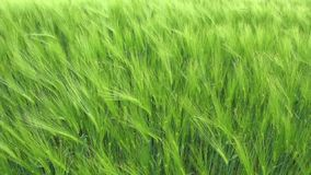Wheat Field Waves Moved stock footage