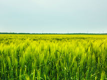 Wheat Field Waves Moved by Summer Wind Nature Royalty Free Stock Photos