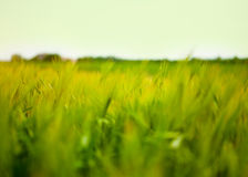 Wheat Field Waves Moved by Summer Wind Nature Stock Images