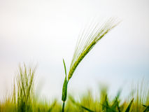 Wheat Field Waves Moved by Summer Wind Nature Royalty Free Stock Image