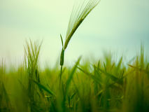 Wheat Field Waves Moved by Summer Wind Nature Stock Photo