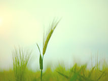 Wheat Field Waves Moved by Summer Wind Nature Stock Photography
