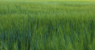 Wheat Field Waves Moved by Summer Wind Pan Nature Background. Green field and cloudy sky stock video