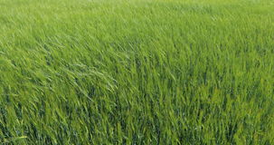 Wheat Field Waves Moved by Summer Wind Pan Nature Background. Green field and cloudy sky stock footage