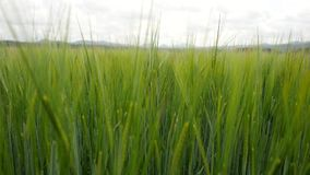 Wheat field waves in wind. Moved stalks of rye  by summer wind, beginning of summer stock footage