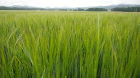 Wheat field waves in wind. Moved stalks of rye  by summer wind, beginning of summer stock video footage