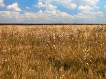 Wheat field with weeds. On a blue cloudly sky Stock Photography