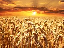 Wheat Field, Wheat, Cereals, Grain Royalty Free Stock Image