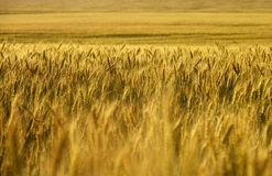 Wheat field. wheat crop. Wheat field stretching into the distance to the horizon Stock Photo