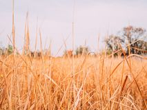 Wheat field. On a background of red bushes stock photography