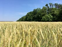 Wheat field. And forest Royalty Free Stock Image