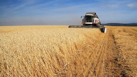 Wheat Field.Wheat Harvest Season. Summer. Sunny day. Blue cloudless sky. Harvester gathers the wheat harvest stock footage