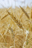 Wheat field, wheat spike on the field Royalty Free Stock Photos