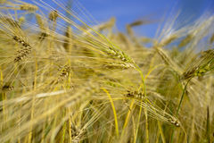 Wheat field harvest time Royalty Free Stock Photography