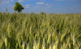 Wheat field harvest time Stock Photos