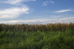 Wheat field before which grows high green grass in the backgroun Stock Photos