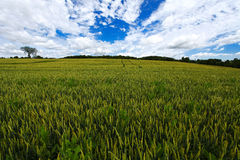 Wheat field. On the white/blue sky and clouds background Stock Images