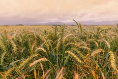 Wheat field of wild oats Royalty Free Stock Photography