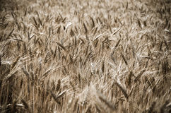 Wheat field in the wind Royalty Free Stock Image
