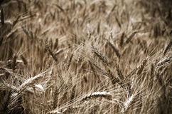 Wheat field in the wind Royalty Free Stock Photos