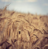 Wheat field in the wind Royalty Free Stock Images