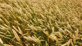 Wheat on a field in the wind. Agriculture stock footage