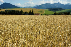 Wheat field in the wind with blue sky Stock Photo